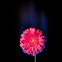 Burning Flower, Flower on fire. Pink Gerbera Daisy in flame over black background with blue blaze. Creative unusual unrequited love concept.